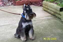 Miniature Schnauzer - Black & Silver - Shadow
