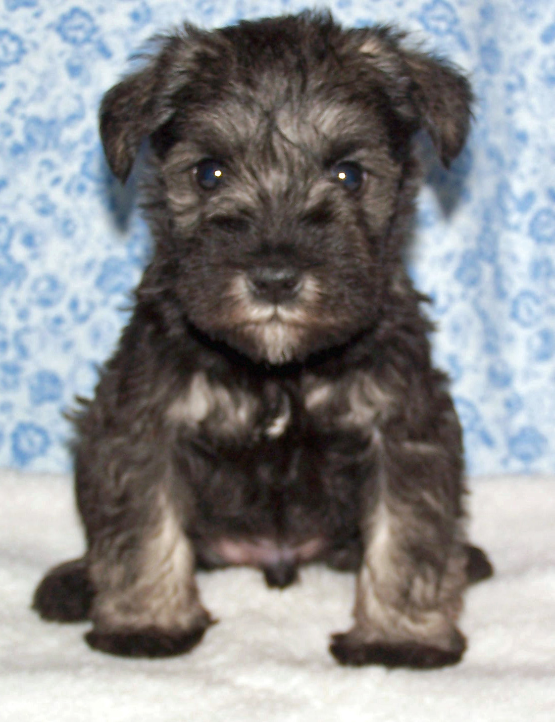 Miniature Schnauzer Boy Puppy