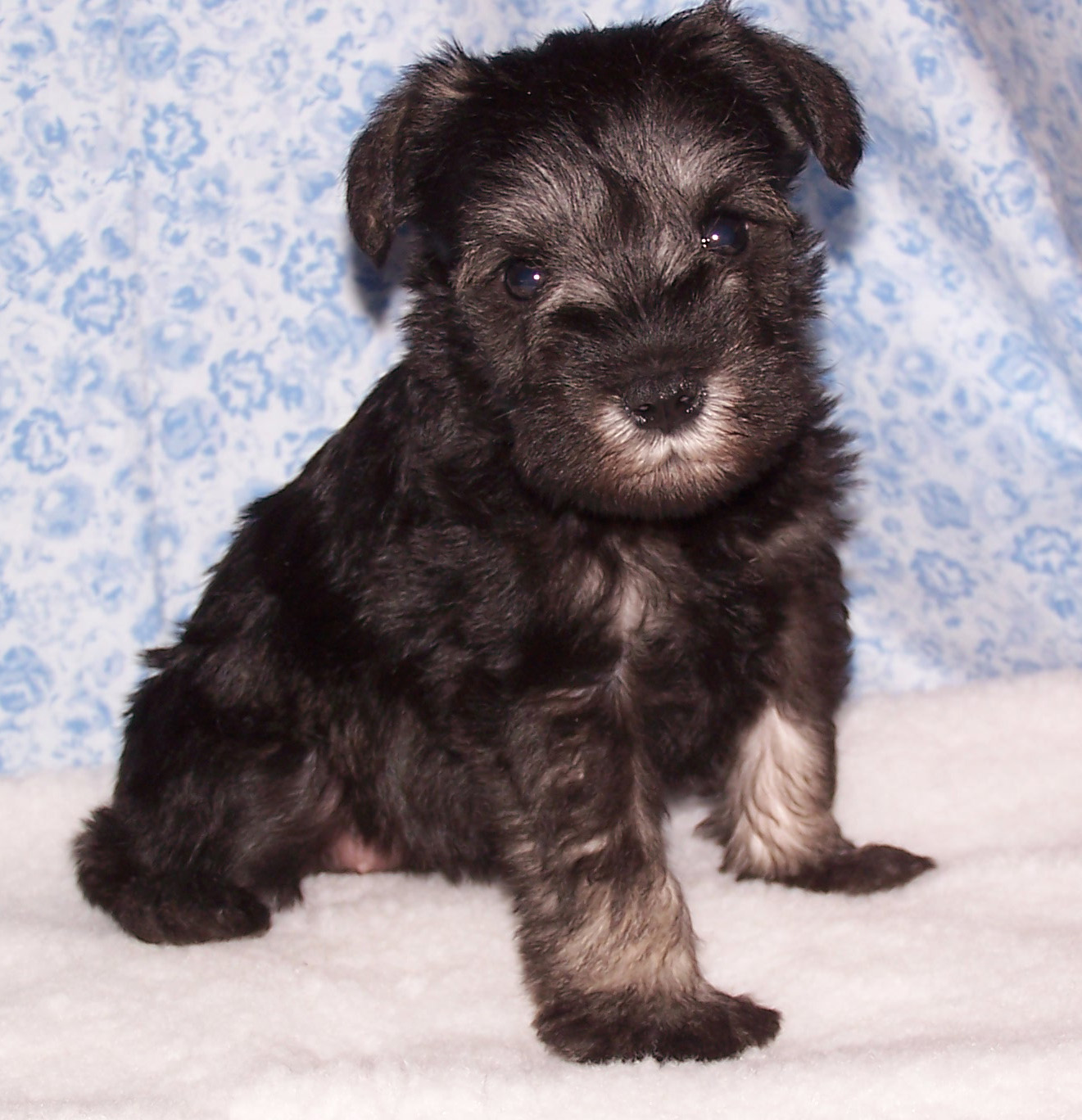Schnauzer Puppy Girl - Abbey