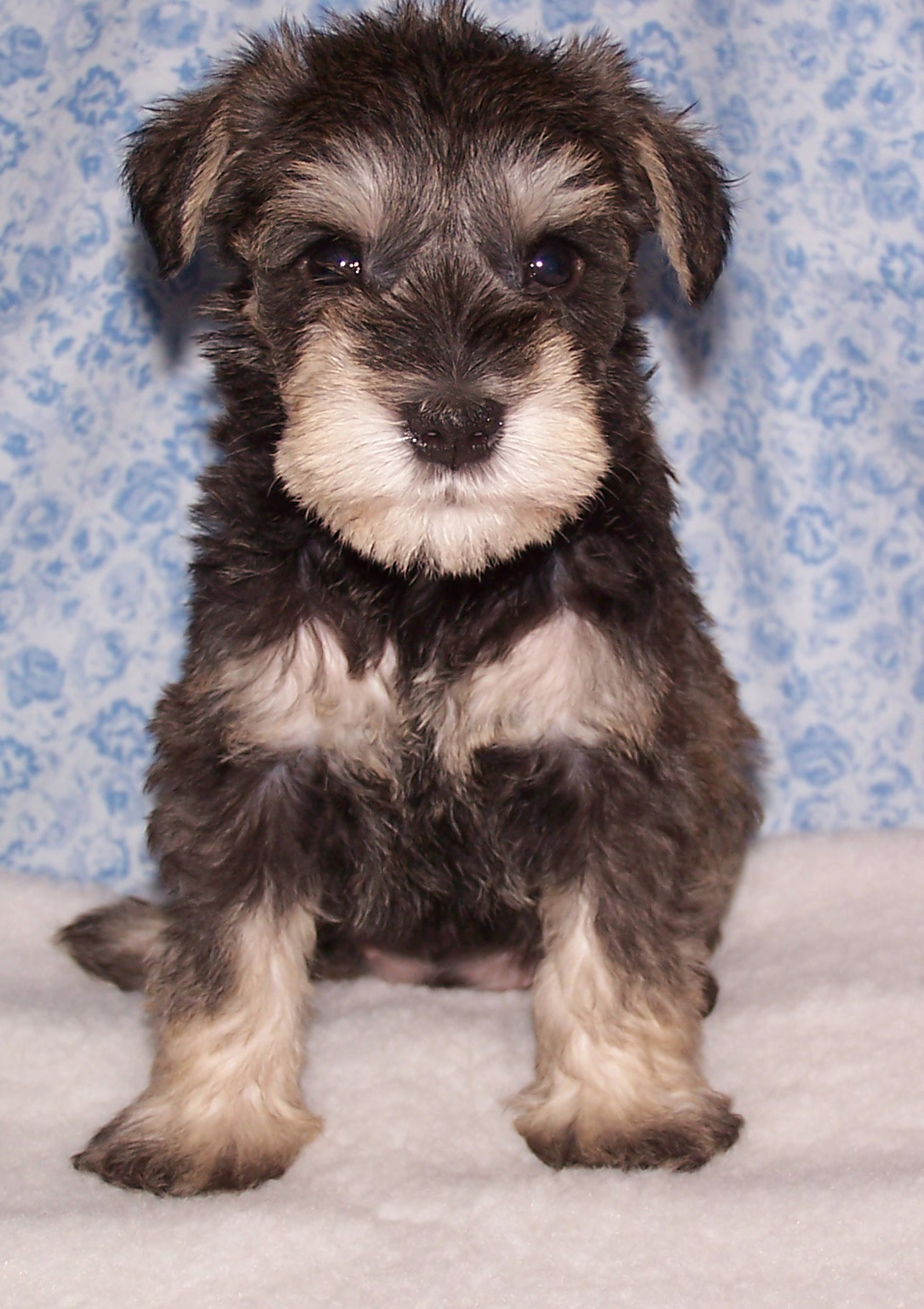 Schnauzer puppy - Little Missy