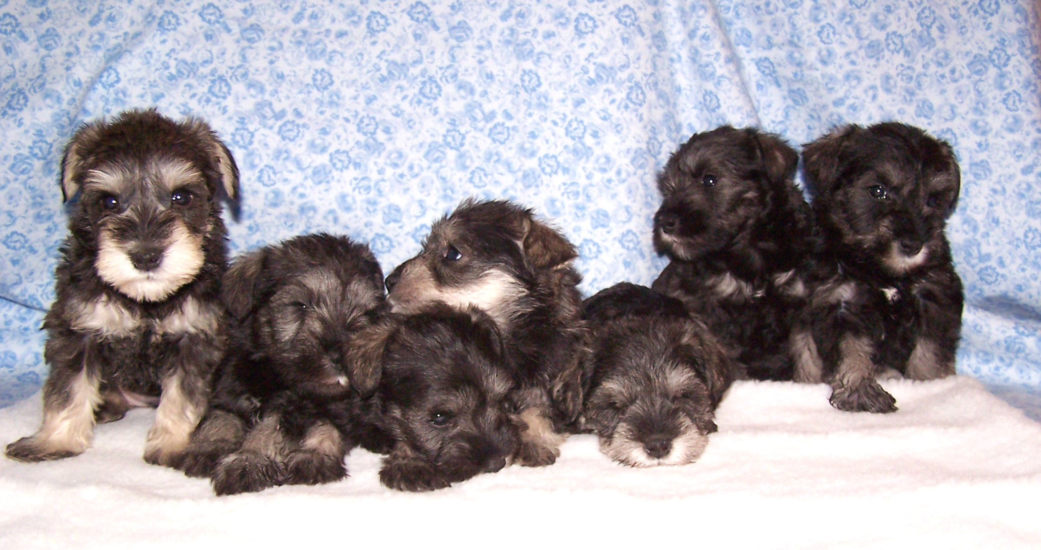 Miniature Schnauzer Puppies - Snickers Litter